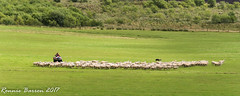 herding sheep (RCB4J) Tags: ayrshire loudonhill rcb4j ronniebarron scotland sonydt1870f3556 sonyilca77m2 art dogwalking eastayrshire irvinevalley photography bordercollies workingsheepdog bracepair sheep herding flock mustering gathering field grass farming sherherd quadbike