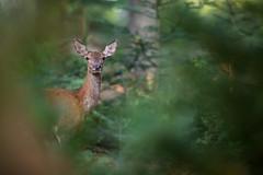 Biche (Patrick d'Alsace) Tags: alsace animaux animal france faune biche forêt