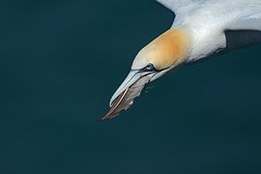 Gannet  Bird of a feather (Ann and Chris) Tags: avian amazing beak coast feather flying gorgeous gliding gull hovering ocean outdoors stunning unusual wildlife water gannet
