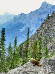 On the lookout! (altamons) Tags: altamons scramble scrambling canadianrockies rockies rockymountains park nationalpark canadian canada banff banffnationalpark alberta wildlife nature marmot cascade