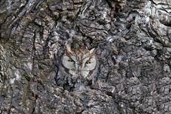 Western Screech owl (Thy Photography) Tags: westernscreechowl owl animal backyard california raptor wildlife photography outdoor nature camouflage