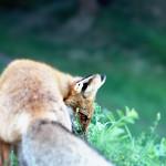 Foxy Lady. thumbnail