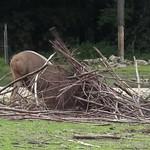 Waterbuck, Safari, Burgers Zoo, Arnhem, Netherlands thumbnail