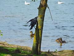 Jackdaw (Deanne Wildsmith) Tags: earthnaturelife staffordshire bartonmarina jackdaw coth bird