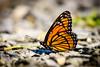 Viceroy (Nicholas Erwin) Tags: butterfly viceroy nature insect bug depthoffield dof contrast macro closeup waterbury vt unitedstatesofamerica usa nikon d610 70200f4vr fav10 fav25 fav50