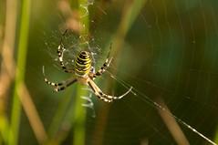 Wespspin - Wasp spider (Den Batter) Tags: nikon d7200 oss ivn wespspin waspspider argiopebruennichi