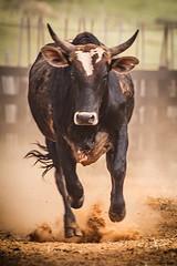 Ê boi ... (Ars Clicandi) Tags: paraná brasil br brazil parana jaboti prova do laço comprido peao peão boiadero boiadeiro cowboy boi cow