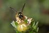 Potter wasp caterpillar hunting #2 (Lord V) Tags: macro bug insect wasp potterwasp