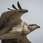 Eastern Osprey: I'm sitting on the sidelines thumbnail