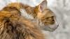 Retrato de Haru -29042017-Nº 0984--2 (EduBa66) Tags: cat cats gatinho gatita colors fur observing attentive kitten chaton feline