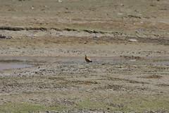 IMG_0294 (y.awanohara) Tags: tibet ngari may2017