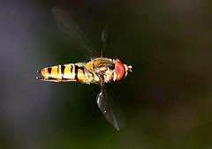 Marmalicious (Ger Bosma) Tags: 2mg251936filtered pyjamazweefvlieg dubbelbandzweefvlieg episyrphusbalteatus marmaladehoverfly hainschwebfliege winterschwebfliege syrpheceinturé syrpheàceintures moscacernidora мармеладнаямуха inflight hoverly hovering flying