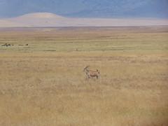 DSC00336 (francy_lioness) Tags: safari jeep animals animali ippopotami leone savana gnu elefante iena pumba tanzaniasafari ngorongorocratere gazzella antilope leonessa lioness facocero