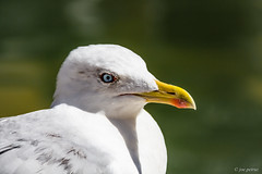 Portrait of seagull (joe petruz) Tags: seagull bird sea nature animal eye colour canon eos 650d street venice italy macro fauna light water beach green yellow portrait photography art