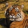 Königstiger (uwizisk) Tags: bengaltiger india indien indischertiger königstigerpantheratigristigris royalbengaltiger tigerpantheratigris
