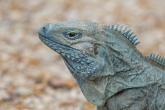 Blue Iguana (Linda Martin Photography) Tags: grandcayman blueiguana cycluralewisi queeneizabethllbotanicalgardens coth reptile coth5 ngc sunrays5 npc