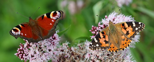 peacock and painted lady butterflies