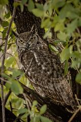 SPOTTED EAGLE OWL (dmberman1) Tags: tanzania wildlife spottedeagleowl birds animals eastafrica africasafari birdsofprey raptor