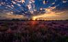 Kampina in bloom (ronnevinkx) Tags: bloom blue boxtel brabant clouds exposureblending exposurefusion flare forest heath kampina landscape netherlands oisterwijk purple sky sun sundown sunset trees