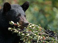 Black bear. (fred.colbourne) Tags: blackbear bear wildlife banffnationalpark alberta berries eating