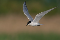 gull-billed tern (leonardo manetti) Tags: wild wildlife bird birds animal animals nature nikon d500 spring