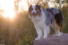 31/52 Good Old Summertime (Jasper's Human) Tags: 52weeksfordogs 52wfd aussie australianshepherd sunrise veteransoasispark