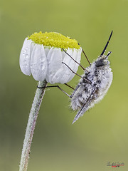 bombilidando (gatomotero) Tags: olympusomdem1 mzuiko60 bombilido nature macrofield primavera