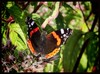 The Red Admiral... (iEagle2) Tags: amiral butterfly ep2 olympusep2 olympuspen