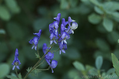 "Monkshood • <a style=""font-size:0.8em;"" href=""http://www.flickr.com/photos/63501323@N07/36433637854/"" target=""_blank"">View on Flickr</a>"