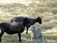 P1390422 (Christen Ann Photography) Tags: 2016 carterton christmasholidays december2016 newzealand sheep wairarapa