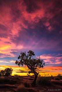 Dead Horse Point juniper tree sunset