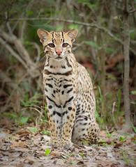 Ocelot in Brazil (Athena Georgiou) Tags: ocelot brazil pantanal wild wildcat safari hide wildlife animal catfamily eyecontact canon7dii canon100400ii canon 7dii nature