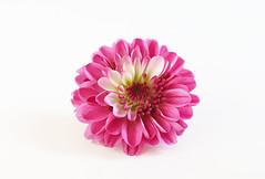 Mums Flower (Through Serena's Lens) Tags: hmm macromondays highkey mums flower chrysanthemum whitebackground macro petals canon eos6dmarkii