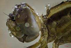 Paciencia (gatomotero) Tags: olympusomdem1 mzuiko60 tubosextension10y16mm olympusflashstf8 difusor poliestireno brazosarticulados tripode macrofieldstack apiladodecampo nature libelula dragonfly focusstacking