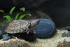 IMG_9751 (Laurent Lebois ©) Tags: laurentlebois france reptile rettile reptil рептилия tortue turtle tortoise tortuga tartaruga schildkröte черепаха chelonia sternotherus minor terrariophilie razorbackmuskturtle cinosterne