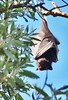 Fruit Bat / Flying Fox. (janeannfag) Tags: fruitbat flyingfox