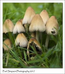 Family of Mushrooms (Paul Simpson Photography) Tags: mushrooms fungus sonya77 sonyphotography imagesof imageof paulsimpsonphotography nature naturalworld grass photoof photosof fungi fungal september 2017 autumn autumnal