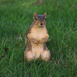 Squirrels in Ann Arbor at the University of Michigan (August 23rd, 2017) thumbnail