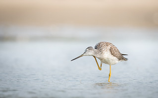 Scratching the Itch! - Greater Yellowlegs enjoying abit of relief on the beach