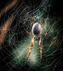 Web site construction (10000 wishes) Tags: spider web goldenorbwebspider nature naturephotography macro closeup spun light