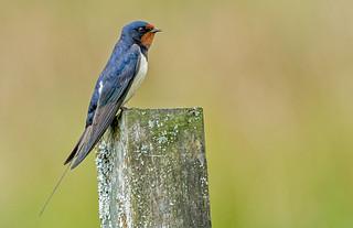 JWL0555  Swallow..