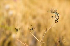 ... Los elegantes ... (Device66.) Tags: creamy dragonfly libelulas device nikon cremoso bokeh sympetrum