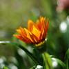 Gazania (Stefano Rugolo) Tags: stefanorugolo pentax k5 smcpentaxm50mmf17 gazania squarefomat orange green 2015 flower blomma bokeh depthoffield light colors petals garden