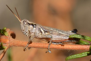 Grayish Sagebrush Grasshopper (Melanoplus cinereus cyanipes)