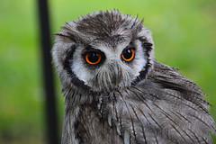 White-faced Scops Owl (Seventh Heaven Photography) Tags: whitefaced white faced scops owl ptilopsis nikond3200 chris neal falconry bird animal 130th shrewsbury flower show shropshire england