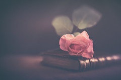 Forgotten rose (Ro Cafe) Tags: rose stilllife sweet50 book pink lensbaby flower vintage romantic dark lowkey naturallight nikond600