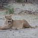 Löwin / Lioness