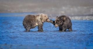 Brown Bear Cub Lands Right Jab