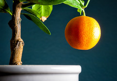43 of 365: Low Hanging Fruit