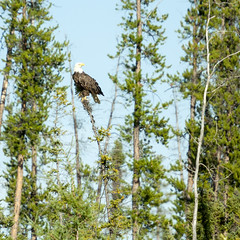 alert among trees (useless no more) Tags: scottlough northerncanada subarctic canadiannorth baldeagle eagle